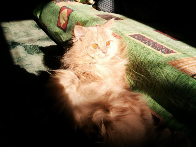 Persian Male Cat Available for mating / breeding - Non Wheels