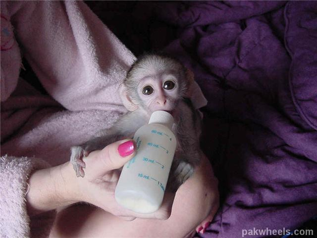 Lolz monkey for sale! - Non Wheels Discussions - PakWheels