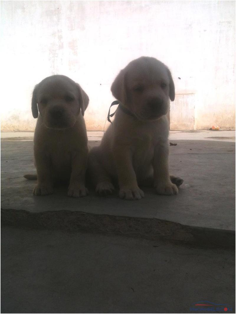 LAB pups for sale - Non-Auto Related Stuff - PakWheels Forums