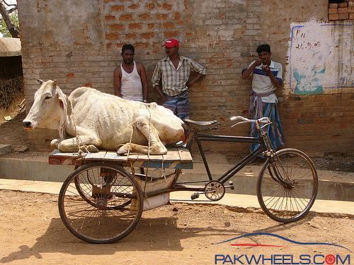 My Fattening (Male Cows) Farm    Lahore - Non Wheels