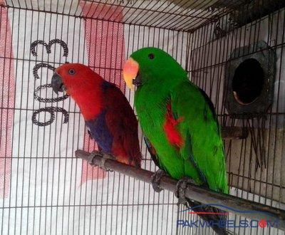 Eclectus Confirm Breeding Pair For Sale in Karachi - Non