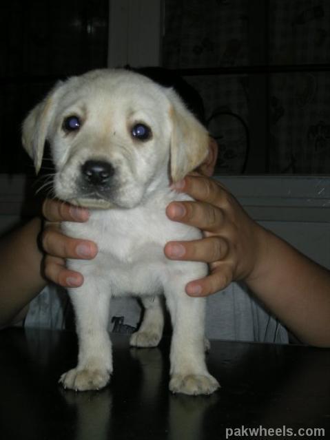 Pure Breed Labrador dog Pups for Sale -03335139399 - Non ... Cute Puppies