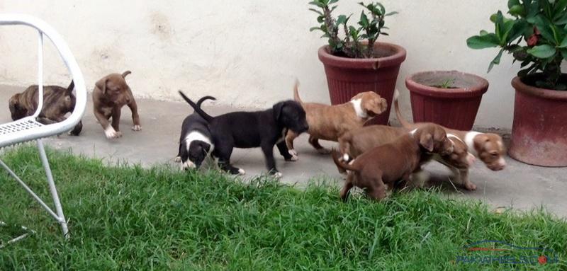 American Pit Bull Puppies for Sale, Lahore - Non-Auto